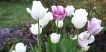 tulipes..